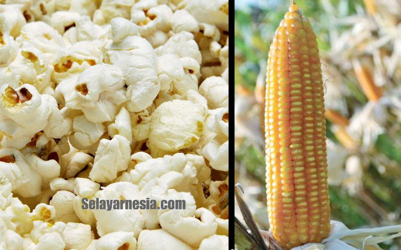 Orang Selayar Tempo Doeloe Membuat Popcorn Sambil Nyanyi